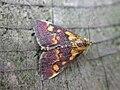 Pyrausta aurata (2943655073).jpg