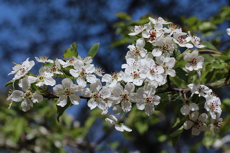 File:Pyrus calleryana flowers s2.JPG