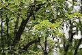 Pyrus communis, Hangzhou Botanical Garden 2018.06.03 16-03-59.jpg