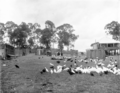 Queensland State Archives 2648 Poultry farm at Mt Gravatt Brisbane c 1918.png