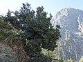 Quercus coccifera przy gornej granicy lasu.jpg