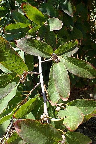 Quercus polymorpha - Image: Quercus polymorpha kz 2