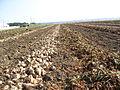 Récolte betteraves à sucre.JPG