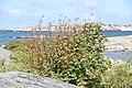 Rönnbärsbuske på Fotö.jpg