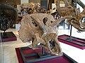 ROM - Arrhinoceratops Brachyops.jpg