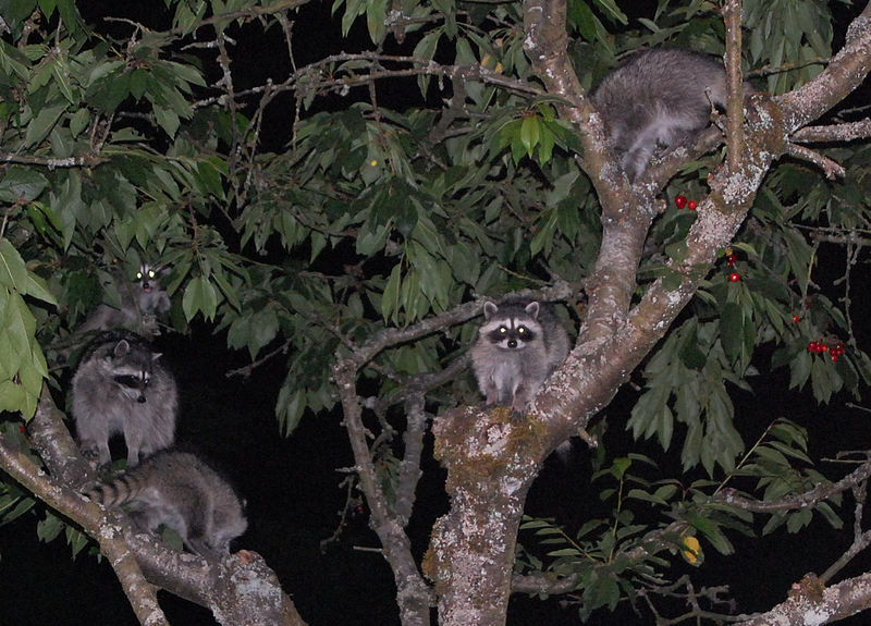 File:RaccoonFamilyInCherryTreeAtNight.jpg