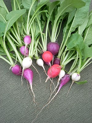 English: Easter egg radishes, just harvested
