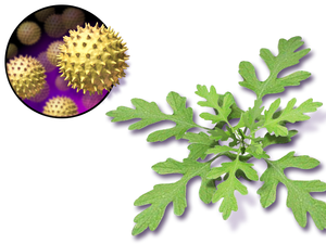 Allergies in children - Ragweed is a plant and some are allergic to its pollen