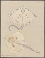 Raja clavata - 1700-1880 - Print - Iconographia Zoologica - Special Collections University of Amsterdam - UBA01 IZ14200053.tif