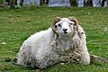 Ram at Highland and Rare Breeds Park.jpg