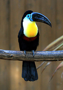 list of toucans wikipedia