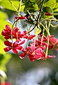 Rangoon creeper - Combretum indicum. കാട്ടുപുല്ലാനി, കുലമറിയൻ. (33810211545).jpg
