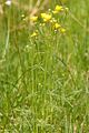 Ranunculus.acris2.-.lindsey.jpg