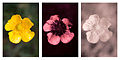 Ranunculus acris (Meadow buttercup) Vis UV IR comparison.jpg