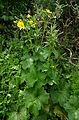Ranunculus cortusifolius kz1.JPG