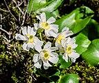 Ranunculus lyallii in Fiordland National Park.jpg