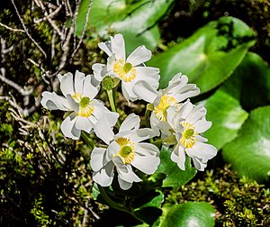 Ranunculus lyallii - Image: Ranunculus lyallii in Fiordland National Park