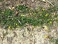 Ranunculus repens sl7.jpg