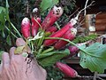 Raphanus sativus var. sativus Radish ハツカダイコン廿日大根、二十日大根 DSCF6413.JPG