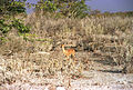 Raphicerus campestris (3) 19990804 JoRoRe 01.jpg