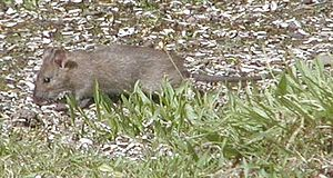 Brown rat - Brown rat eating sunflower seeds
