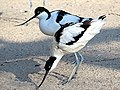 Recurvirostra avosetta (24934363014).jpg