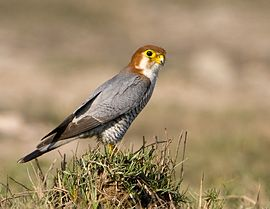 Red-Necked Falcon.JPG