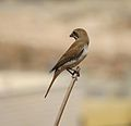 Red-backed Shrike, female - palestine.jpg