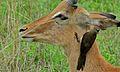 Red-billed Oxpecker (Buphagus erythrorhynchus) on Impala (6012372286).jpg