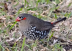 Red-eared firetail.jpg