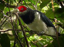 Red-faced Malkoha x.jpg
