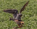 Red-footed Falcons Mating (19329373870).jpg