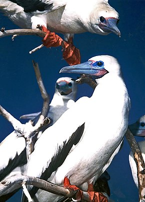 Red-footed booby.jpg