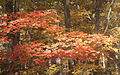 Red-gold maple Duke Forest.jpg