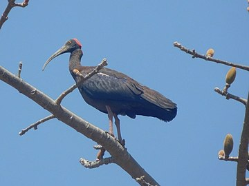 Red-naped Ibis on a tree 2.jpg