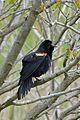 Red-winged Blackbird (Agelaius phoeniceus), Male - Oakville, Ontario 01.jpg