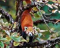 RedPanda SingalilaNationalPark DFrame.jpg