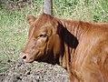 Red Angus Heifer.jpg