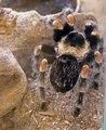 Red Knee Tarantula IMG 5342.tif