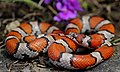 Red Milk Snake (Lampropeltis triangulum syspila) (33905210992).jpg