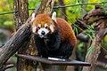 Red Panda (37661068045).jpg