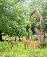 Red deer by Clifton Lodge Archway (geograph 3711526).jpg
