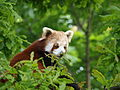 Red panda (Ailurus fulgens) - Chester Zoo - Upton by Chester, in Cheshire, England.jpg