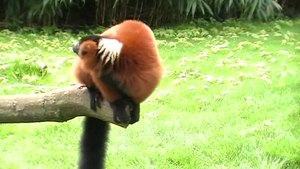 Fitxer:Red ruffed lemur jumps onto a branch.ogv