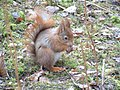 Red squirrel feeding, Formby nature reserve - geograph.org.uk - 376405.jpg