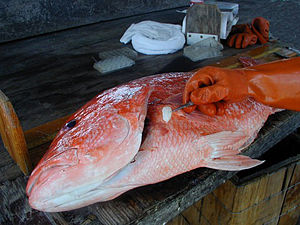 Estimating the age of fish - Removing an otolith from a red snapper to determine its age