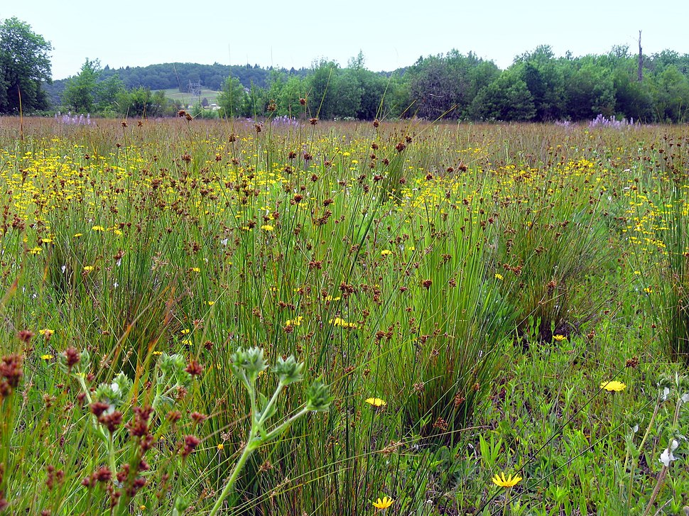Restored Prairie at the West Eugene Wetlands (8745659774)