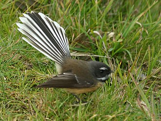 Fantail - A display of the tail that gives the family its name