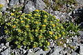Rhodiola rosea (Mount Tsurugi).JPG