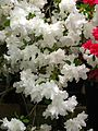 Rhododendron 'Adonis' 03.jpg